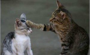 トラブルを起こした子猫をしつける親猫